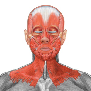Muscles around the face and neck